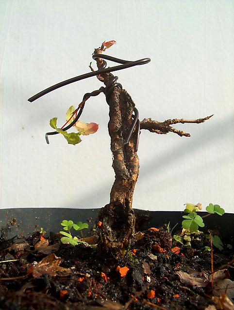 Acer Tridente inclinado - Corte drastico, muda e colocação de arames
