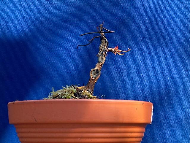Acer Tridente inclinado - Muda para um vaso maior