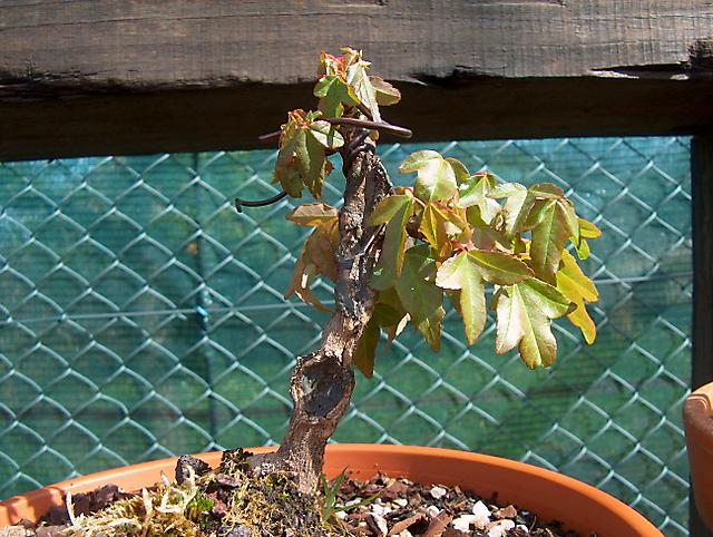 Acer Tridente inclinado - Adubação forte agua e sol.