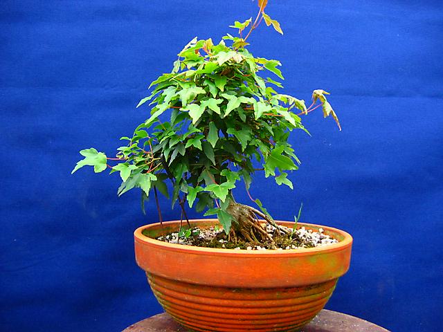 Acer Tridente inclinado - Em pleno verão, ajustes de ramos.