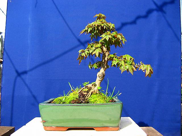Acer Tridente inclinado - Metsumi e mais nada