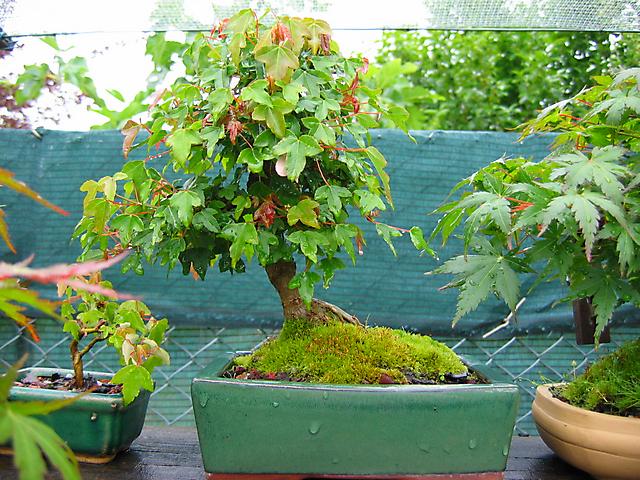 Acer Tridente inclinado - Desemvolvimento das folhas.