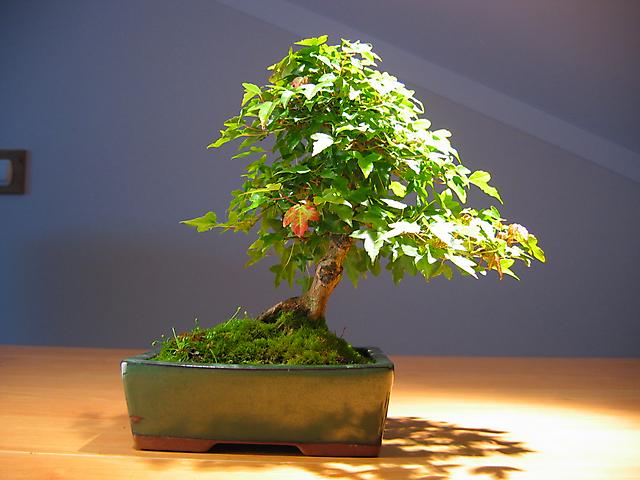 Acer Tridente inclinado - As tais fotos para calalogo