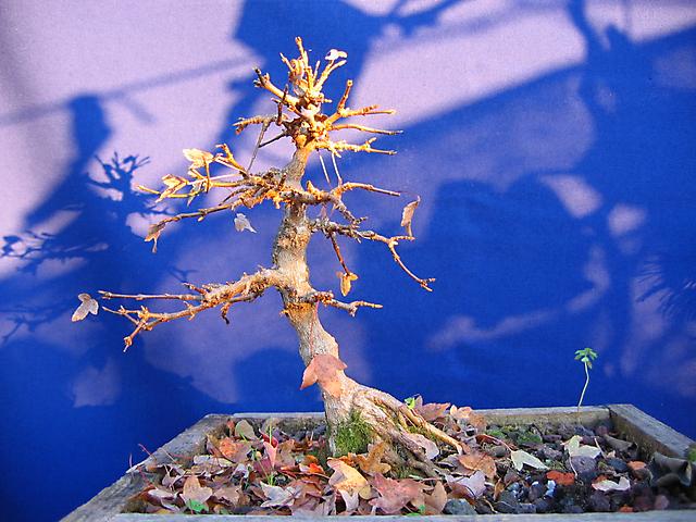 Acer Tridente inclinado - Seca estrema quaz matou o bonsai