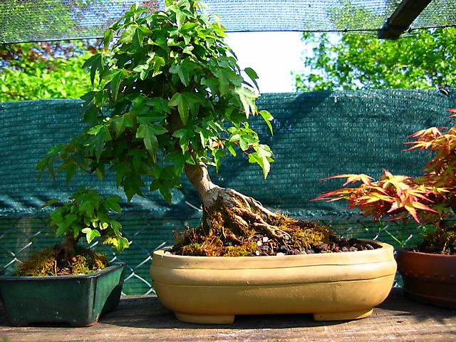 Acer Tridente inclinado - Só com uma poda das pontas das folhas