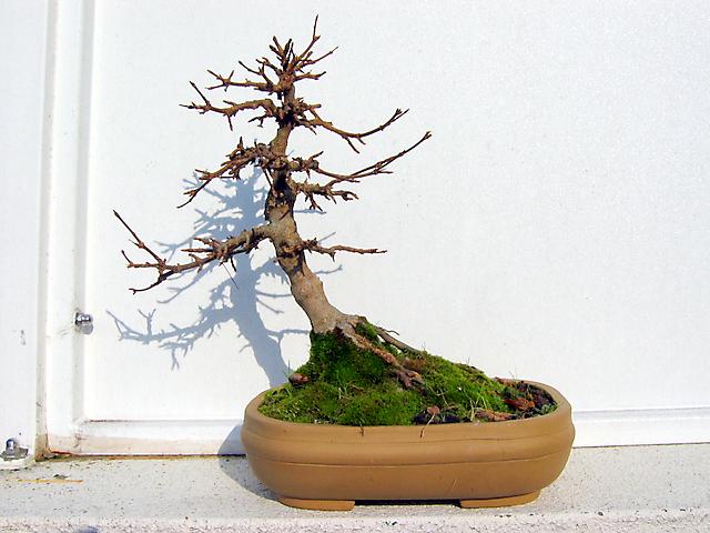 Acer Tridente inclinado - Foto de inverno