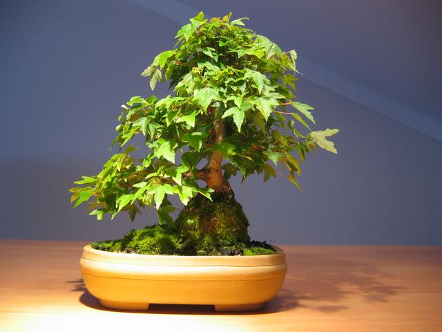 Acer Trident em estilo Ishitsuki- Fotos de bonsai para Wallpaper