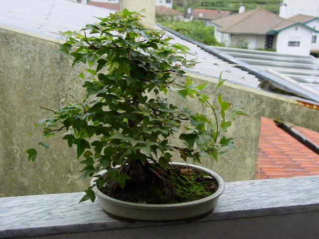 O Acer Tridente recto, o meu mais velho bonsai- Muda de vaso e analise da arvore