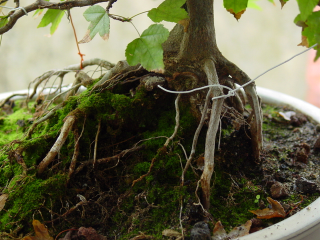 O Acer Tridente recto, o meu mais velho bonsai- Nebari mal formado