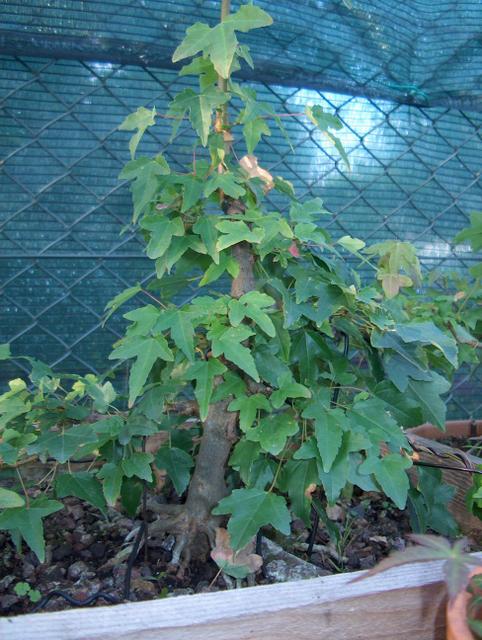 O Acer Tridente recto, o meu mais velho bonsai- Colocação em caixa de criação