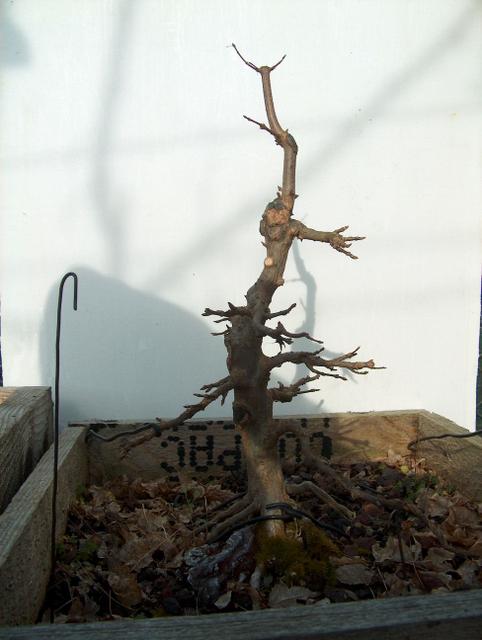 O Acer Tridente recto, o meu mais velho bonsai- O Apex tambem não esta grande coisa.