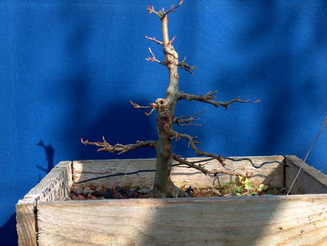 O Acer Tridente recto, o meu mais velho bonsai- Pequena poda de Inverno