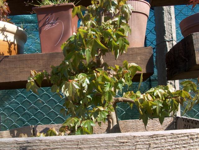 O Acer Tridente recto, o meu mais velho bonsai- Adubo e agua e sol