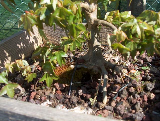 O Acer Tridente recto, o meu mais velho bonsai- Analise de Nebari