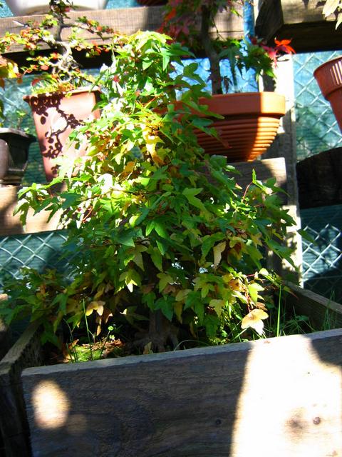 O Acer Tridente recto, o meu mais velho bonsai- Inicio da coloração de Outono