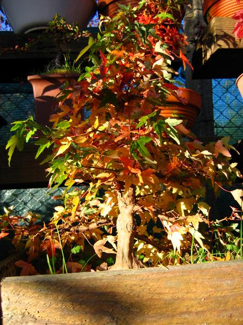 O Acer Tridente recto, o meu mais velho bonsai- Coloração de fim de Outono