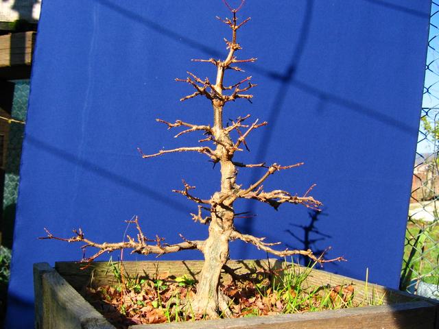 O Acer Tridente recto, o meu mais velho bonsai- Apesar de tudo a estrutura esta a ficar interessante
