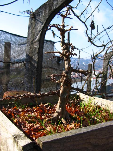 O Acer Tridente recto, o meu mais velho bonsai- Colocação de arames após poda de Inverno
