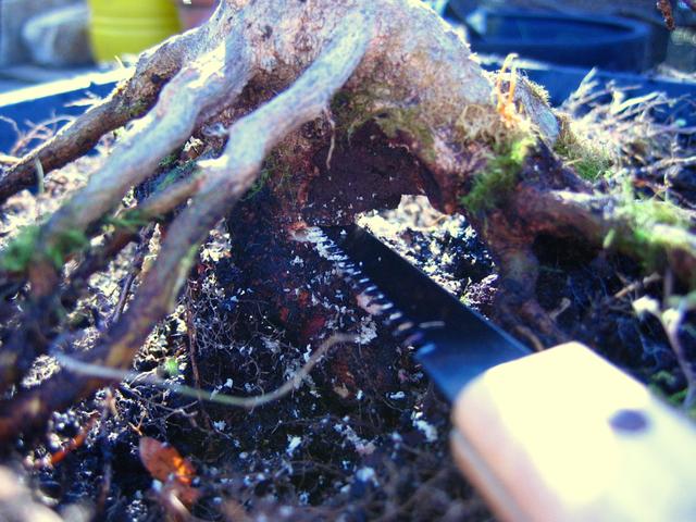 O Acer Tridente recto, o meu mais velho bonsai- Corte da raiz inferiore e remoção da pedra