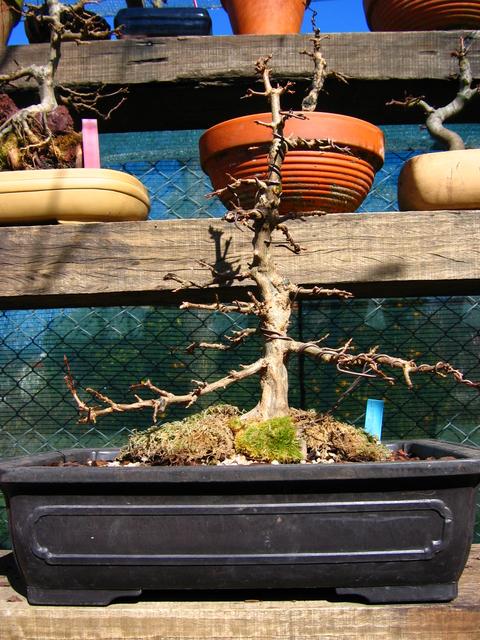O Acer Tridente recto, o meu mais velho bonsai- Acer Trident após a muda corte e amarração