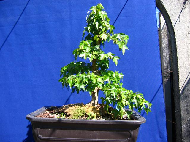 O Acer Tridente recto, o meu mais velho bonsai- Incrivel arranque deste Acer trident
