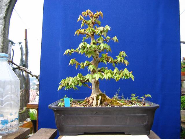 O Acer Tridente recto, o meu mais velho bonsai- Um ano após o corte da raiz