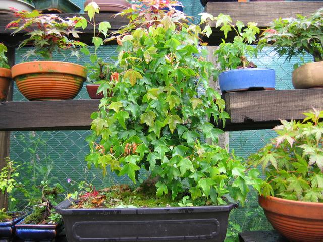 O Acer Tridente recto, o meu mais velho bonsai- Analise de estrutura do Acer Tridente