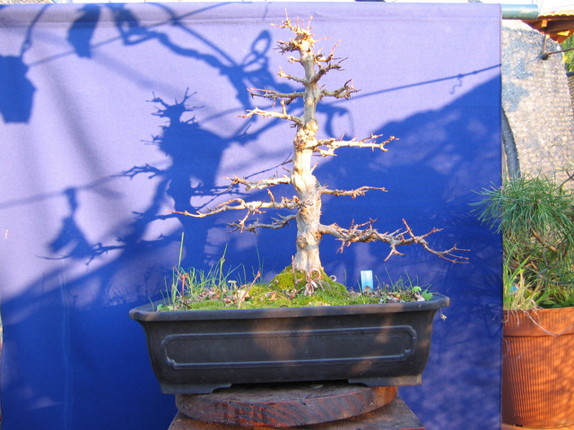 O Acer Tridente recto, o meu mais velho bonsai- Analise do Apex e estrutura da arvore