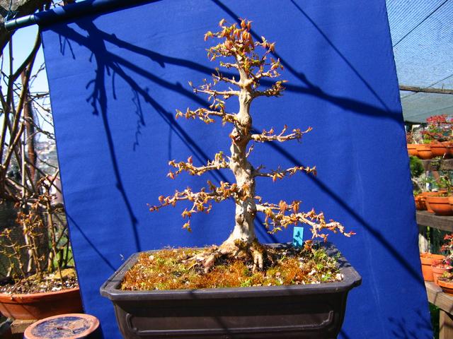 O Acer Tridente recto, o meu mais velho bonsai- Depois da poda de inverno os rebentos de Primavera