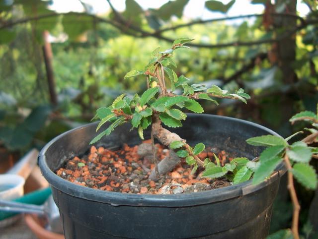 Mame informal Ulmus Parvifolia- Colocação em vaso de engorda