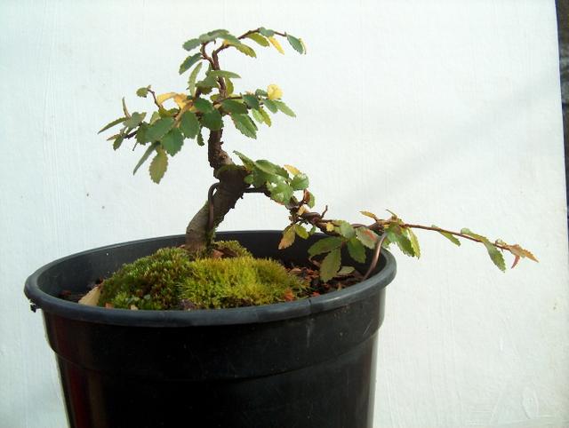 Mame informal Ulmus Parvifolia- Amarração e poda para controlo dos ramos