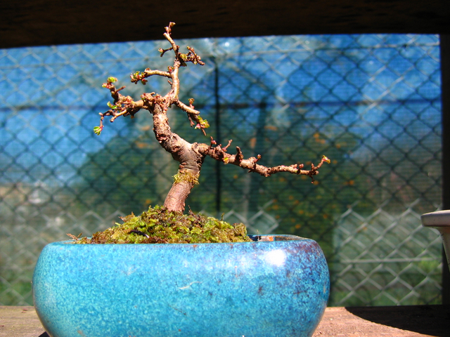Mame informal Ulmus Parvifolia- Poda de estrutura, muda e remoção de arames