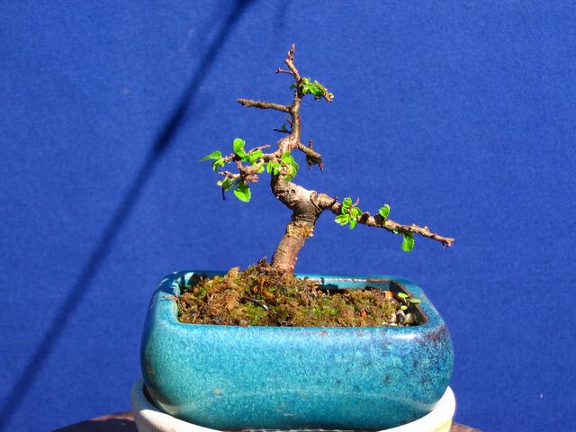 Mame informal Ulmus Parvifolia- Arranque de Primavera