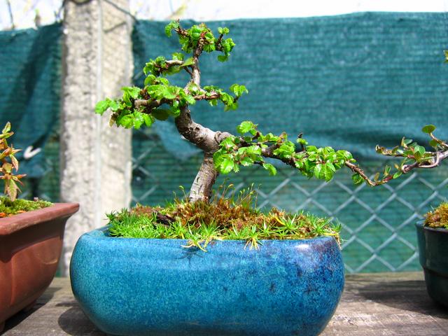 Mame informal Ulmus Parvifolia- Poda de controlo dos tufos de folhas