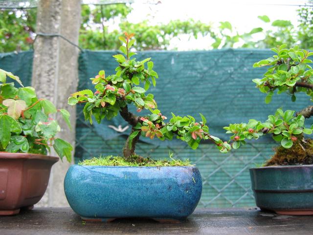 Mame informal Ulmus Parvifolia- Esta a melhorar os tufos de folhas