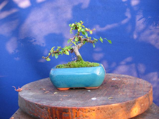 Mame informal Ulmus Parvifolia- Mais uma poda de controlo dos tufos de folhas