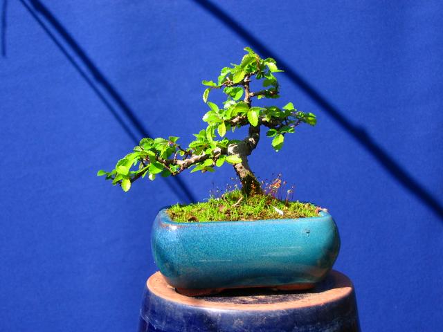 Mame informal Ulmus Parvifolia- Poda só controlo dos tufos de folhas e muda