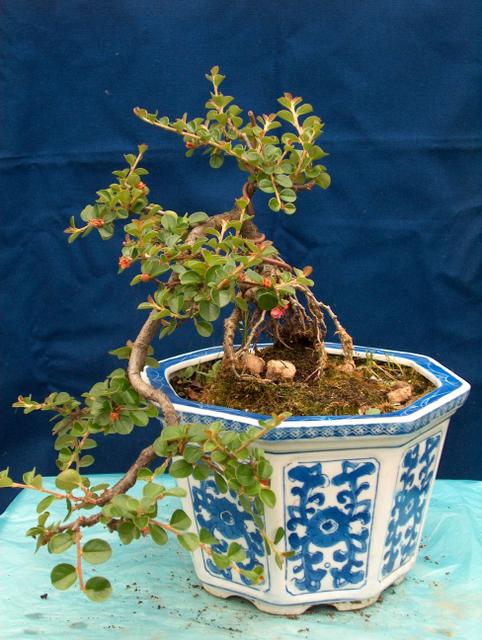 Cotoneaster Horizontalis em cascata- Colocação em vaso e remoção de arames