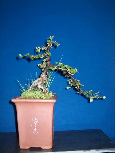 Cotoneaster Horizontalis em cascata- Foto de exposição do BCB