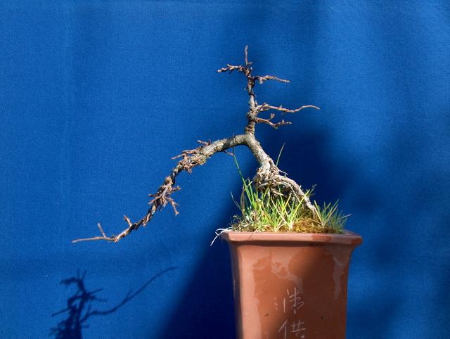Cotoneaster Horizontalis em cascata- Colocação de arames no inicio da primavera