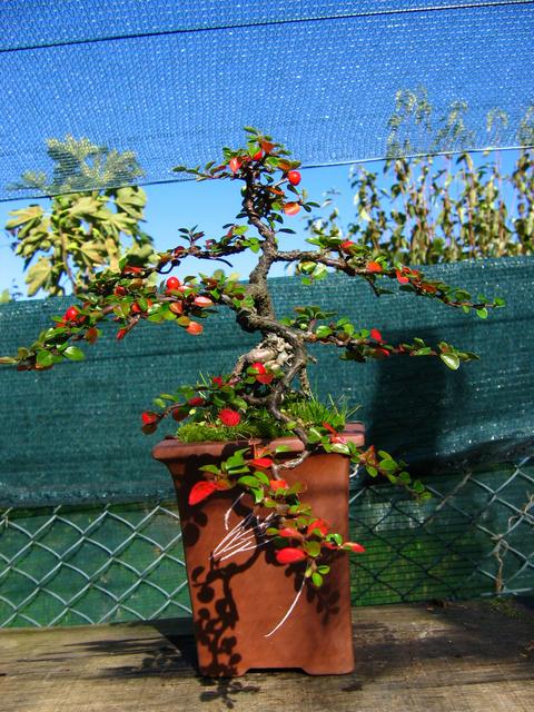 Cotoneaster Horizontalis em cascata- Remoção de todos os arames, core de Outono