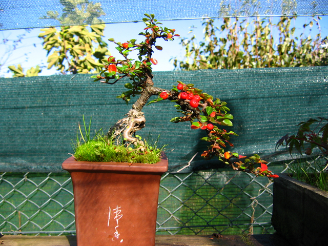 Cotoneaster Horizontalis em cascata- Fruto do Cotoneaster Horizontalis