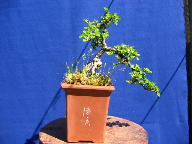 Cotoneaster Horizontalis em cascata- Foto lateral da cascata