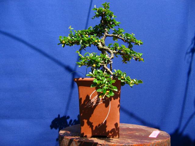 Cotoneaster Horizontalis em cascata- Ajustar os tufos de folhas