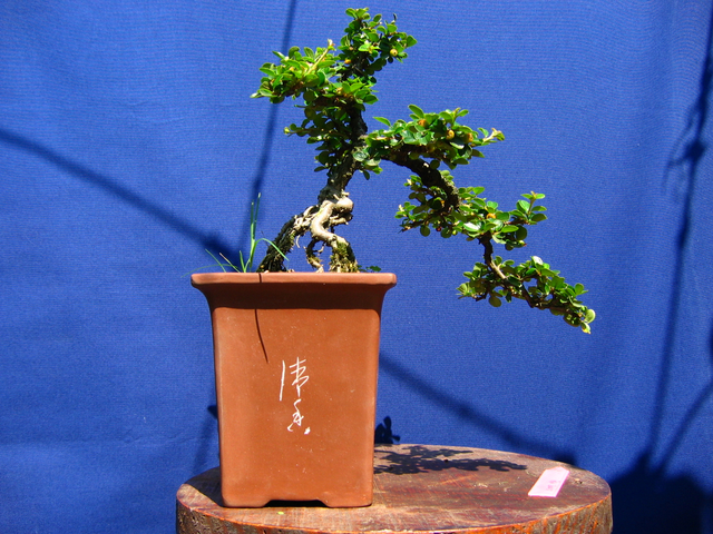 Cotoneaster Horizontalis em cascata- Analise das raízes e estrutura