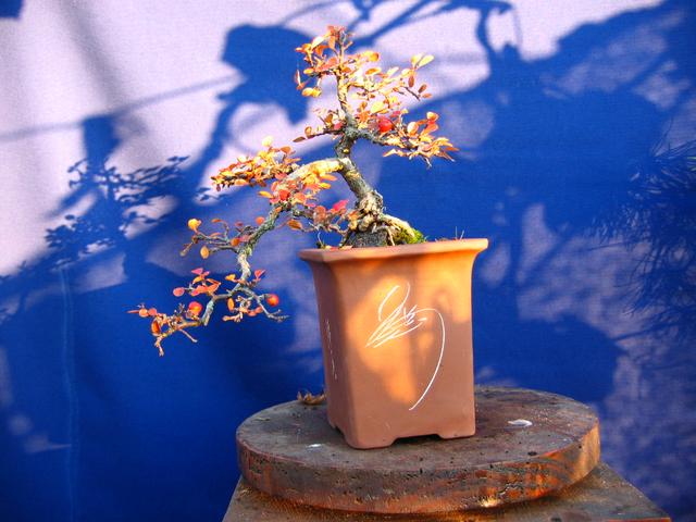 Cotoneaster Horizontalis em cascata- Cores de Outono