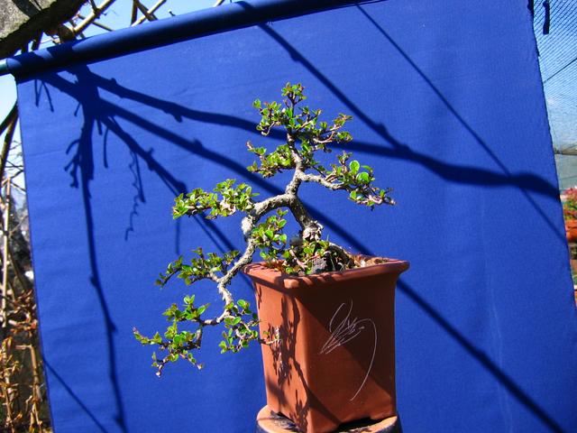 Cotoneaster Horizontalis em cascata- Inicio de Primavera, poda de Inverno