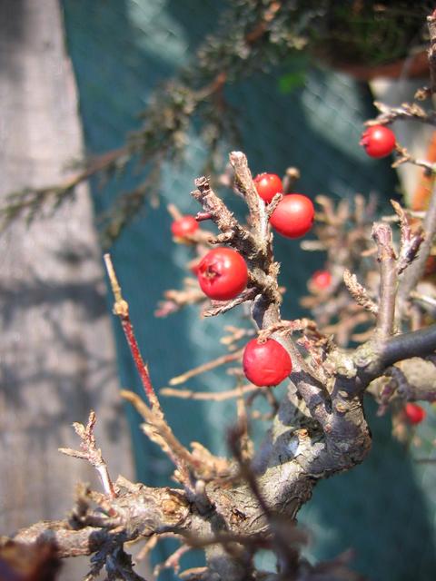 Cotoneaster Horizontalis em cascata- Foto do fruto do Cotoneaster Horizontalis