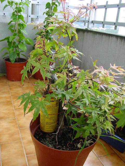 Acer Palmatum Beni Stukasa com estilo Bakan- Muda de vaso e colocação de alporques no Beni Tsukasa
