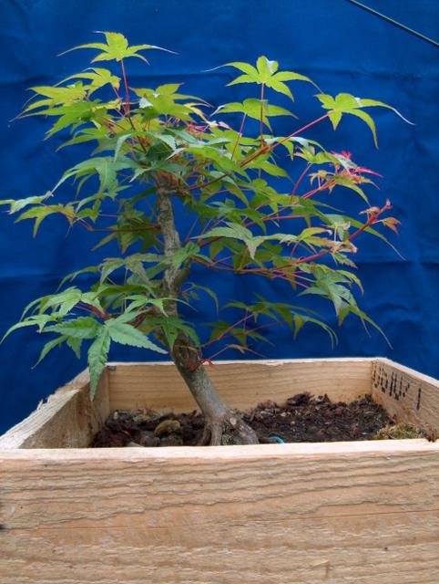 Acer Palmatum Beni Stukasa com estilo Bakan- Remoção dos alporques, muda corte de raizes e poda geral